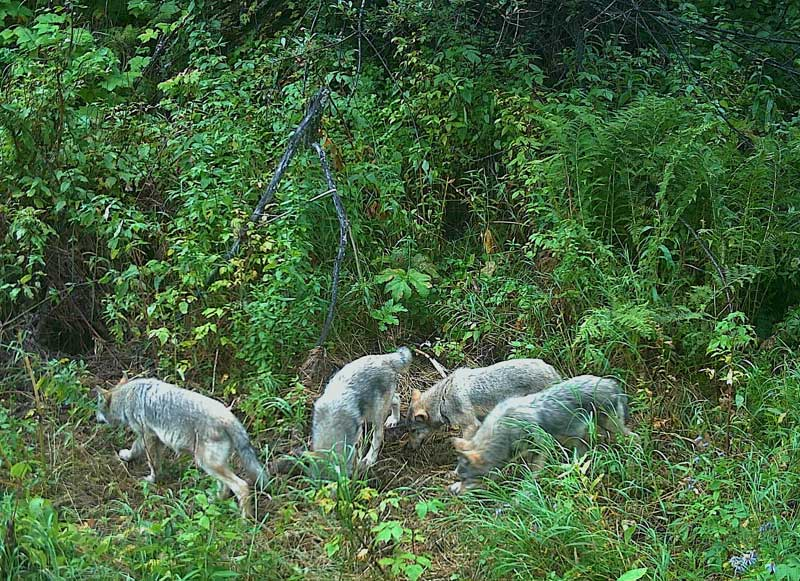 pack of wolves trail cam photo evan saugstad