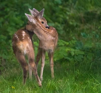 two fawns bc wildlife conservation2 efforts