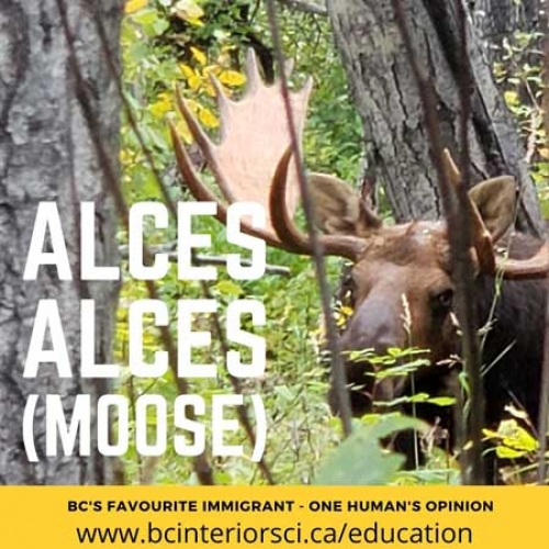 Alces Alces (Moose) - BC'S Favourite Immigrant (Part 1)